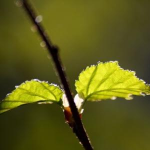 gulld-träd